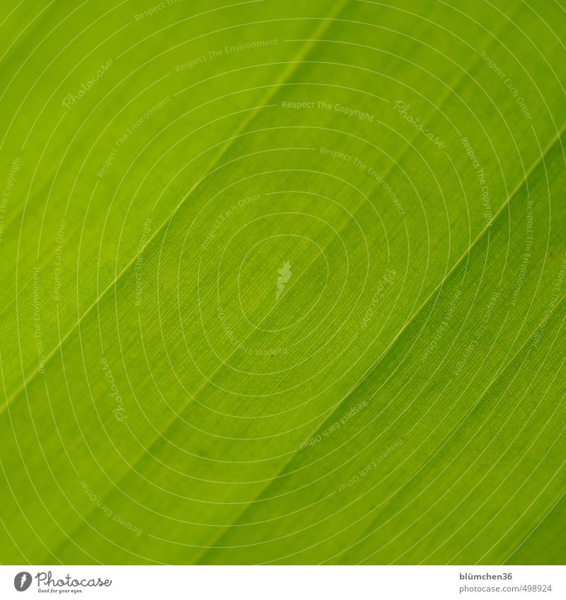 green Plant Leaf Agricultural crop Banana Banana leaves Banana tree Growth Exotic Fresh Natural Green Structures and shapes Line Detail Stripe Parallel Rachis
