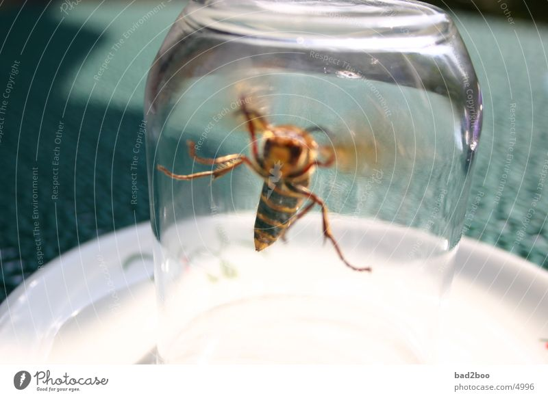 Hornet 01 Animal Insect Summer Plagues Wasps Table Pierce Glass Flying Nature Wing winged animal Tablecloth
