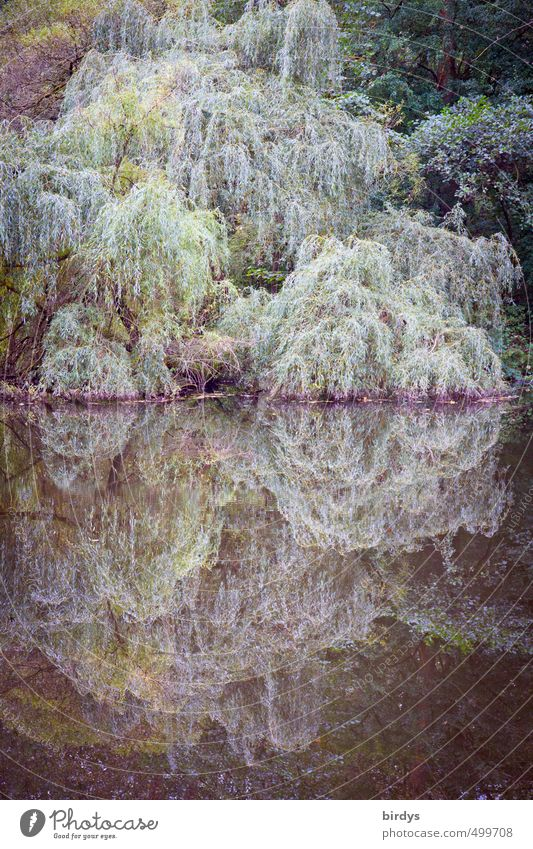 when the grieving willow kisses the water Nature Plant Autumn Tree Weeping willow Forest Lakeside Pond Touch Esthetic Romance Calm Idyll cool colours Sadness