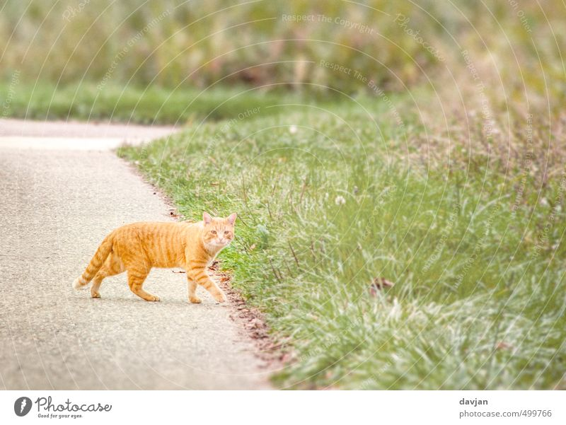 Cat Green Summer Red Calm Animal Environment Grass Orange Walking Perspective Observe Curiosity Serene Brave Hunting