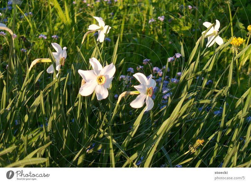 daffodils ? Wild daffodil Plant small uterus village Nature