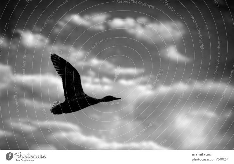 Thunder Duck Bird Clouds Dark Storm Flying Sky Shadow Weather