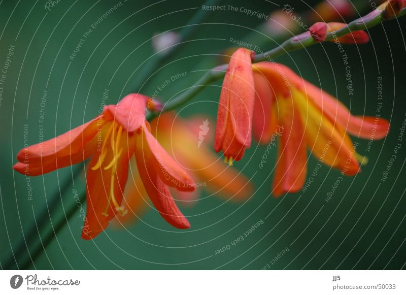 flower dream Flower Plant Red Calyx Blur Graceful Delicate Lovely Nature Twig Close-up