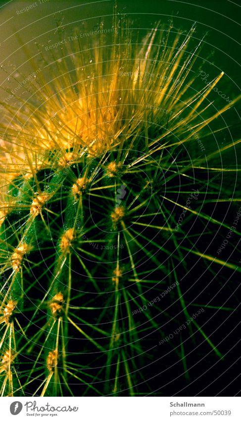 Nature Green Plant Yellow Desert Reaction Cactus Thorn