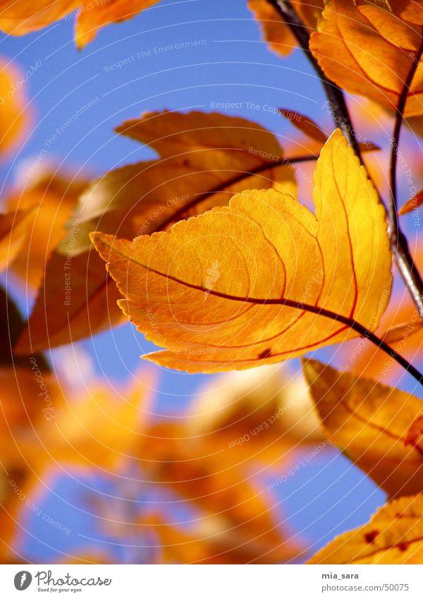 autumn leaves Leaf Multicoloured Autumn Rachis Tree Exterior shot Blur Orange Sky Blue Branch