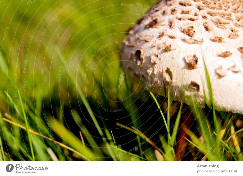 Parasol in the meadow II Environment Nature Plant Summer Weather Beautiful weather Warmth Grass Wild plant Mushroom Parasol mushroom Meadow Stand Growth