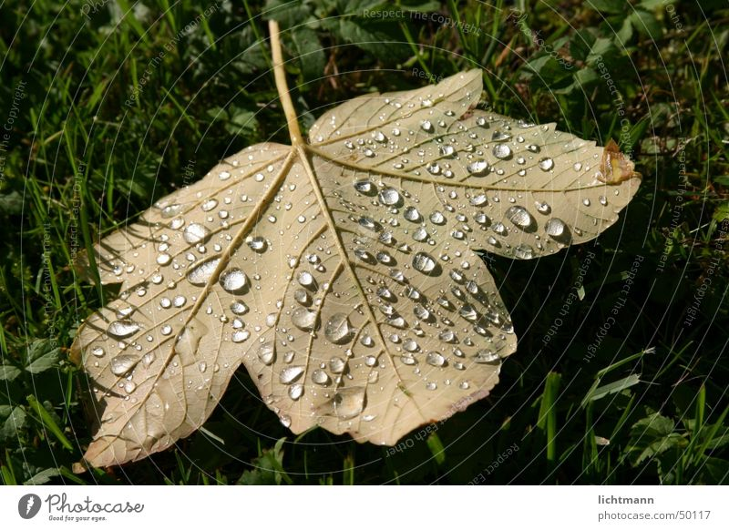 The leaf Leaf Rain Green Nature