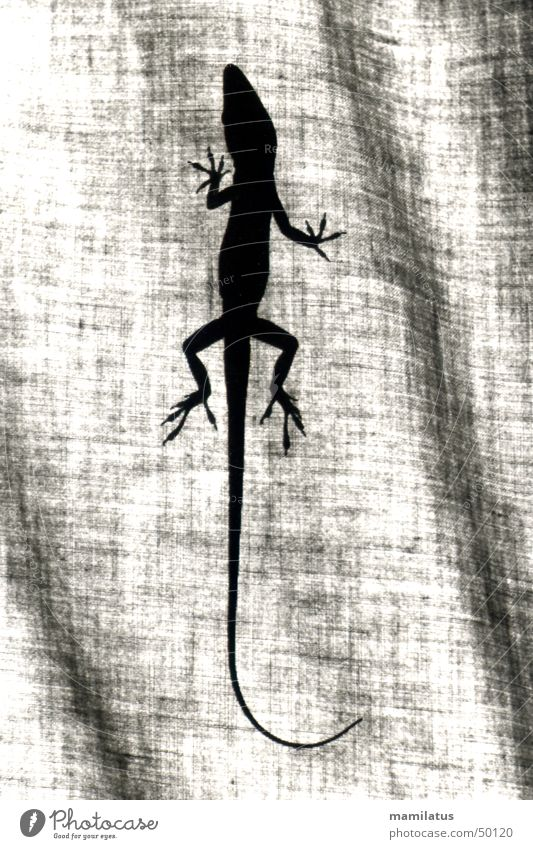 anolis Anolis Reptiles Saurians Iguana Animal Cloth Curtain red-throated aoli Shadow Silhouette