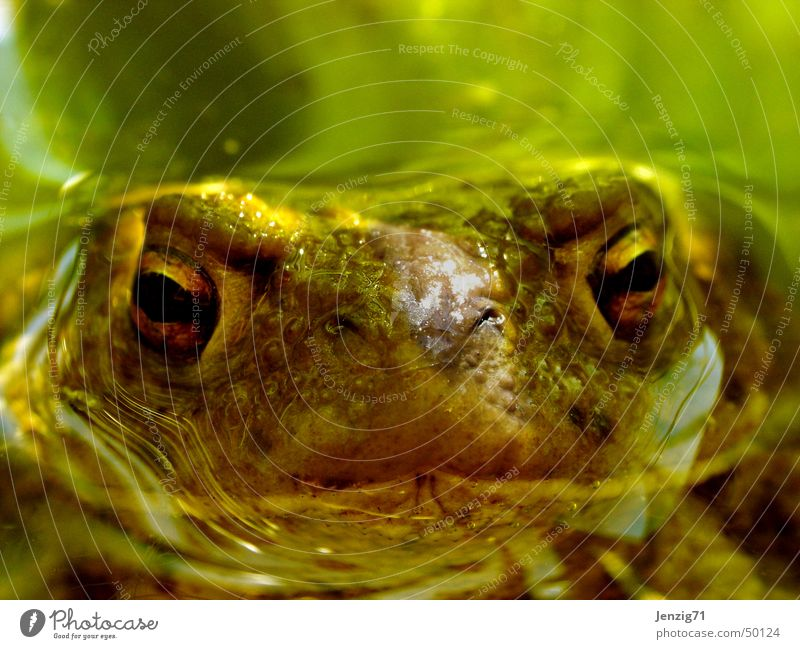 Turned up. Common toad Pond Amphibian Painted frog Frog Water Eyes Macro (Extreme close-up)