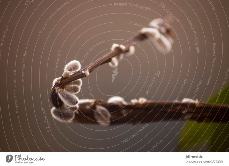 Nature Plant Tree Blossom Natural Brown Bushes Twig Catkin