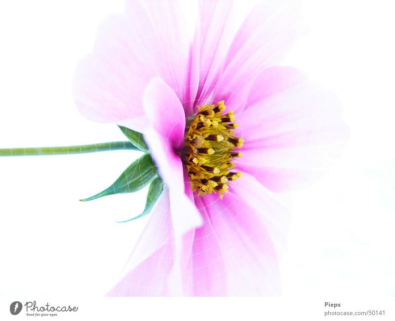 Unfolding completed Colour photo Interior shot Macro (Extreme close-up) Neutral Background Nature Plant Flower Blossom Blossoming Pink Life Transience Delicate