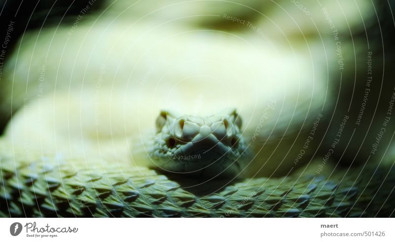 snake Snake 1 Animal Wait Aggression Yellow Rattle snakes Colour photo Interior shot Close-up Deserted Copy Space top Artificial light Central perspective