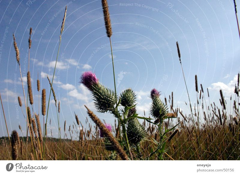 Ringing heat Summer Sky Great burr russia Weed Medicinal plant