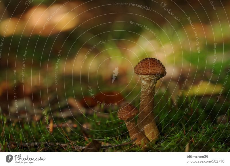 Who am I? Who am I? Nature Autumn Plant Moss Mushroom Mushroom cap Carpet of moss Forest Woodground Stand Growth Small Delicious Natural Brown Green Food