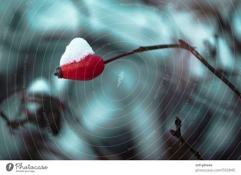 Rosehip with snow bonnet Winter Snow Plant Rose hip Green Red Turquoise Colour photo Exterior shot Deserted