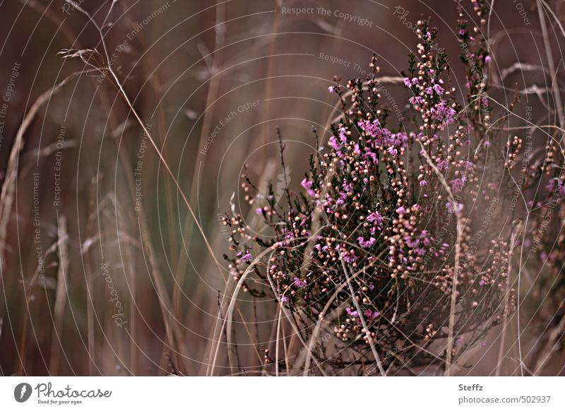 Fascination Heide V Nature Plant Autumn Bushes Wild plant Heather family calluna calluna vulgaris Heathland Fischbecker Heath Blossoming Brown Violet Romance