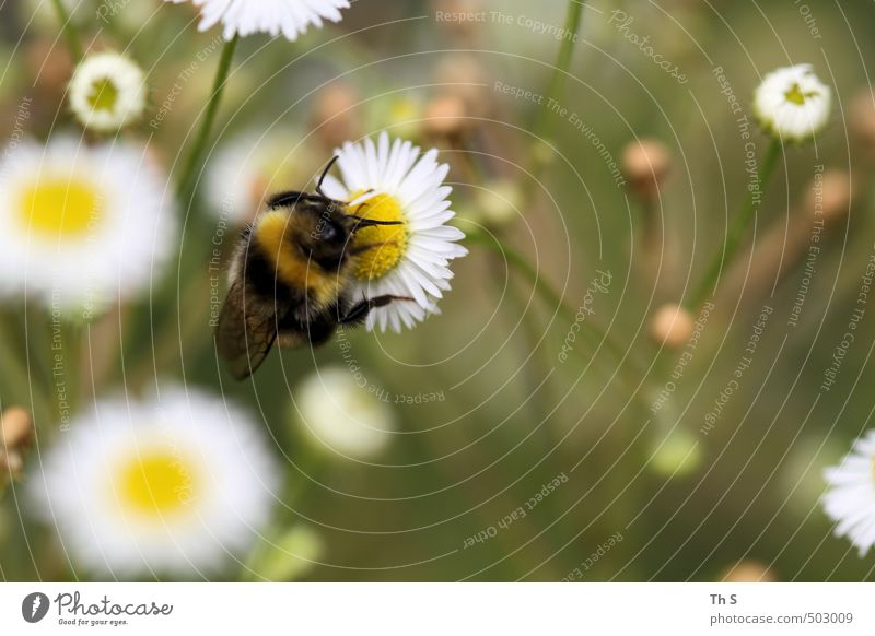 bee Animal Bee 1 Esthetic Authentic Spring fever Beautiful Nature Meadow Flower Harmonious Colour photo Exterior shot Close-up