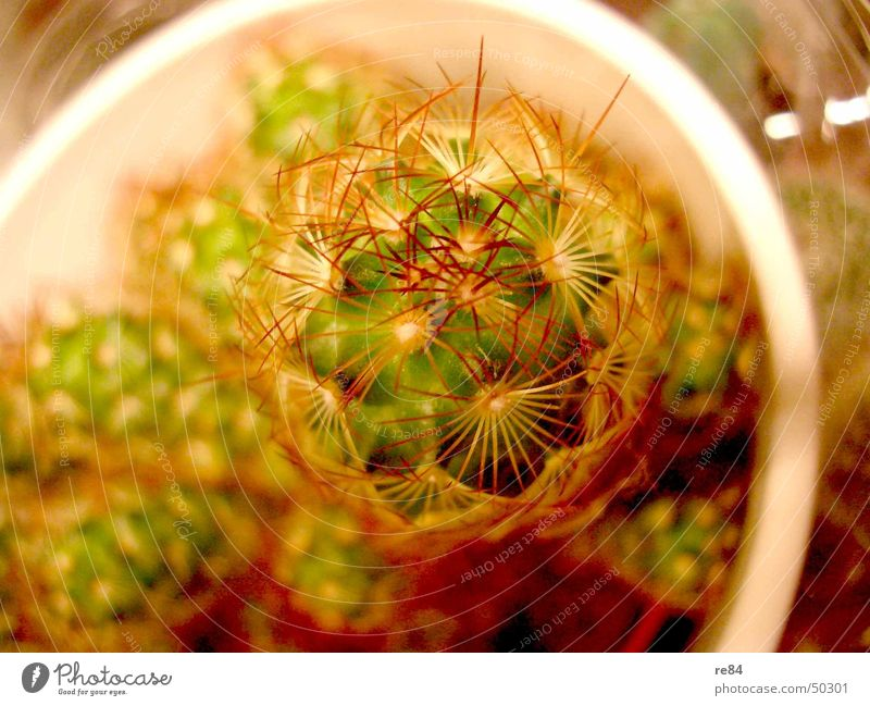 My little green cactus... Cactus Plant Green Pot Growth Red Yellow White Balcony Small ikea Thorn Nature Water Attic Bud