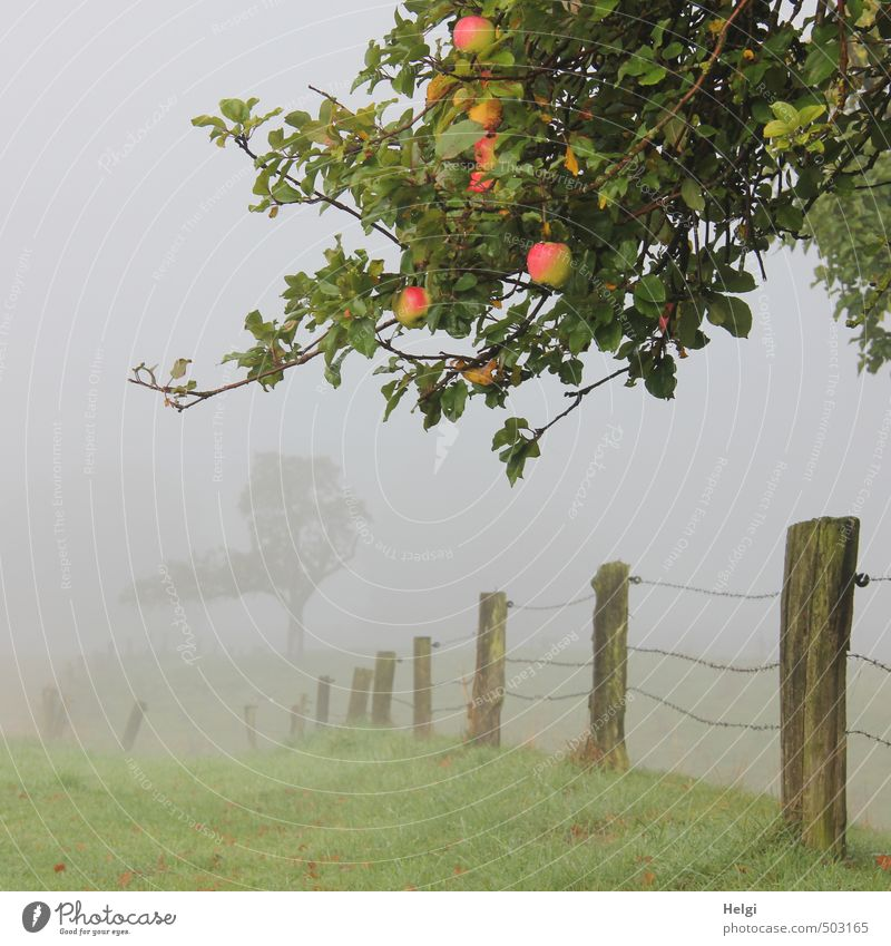 Landscape in fog with branches of the apple tree with ripe apples, fence and meadow Environment Nature Plant Autumn Fog Tree Grass Apple tree Branch Meadow
