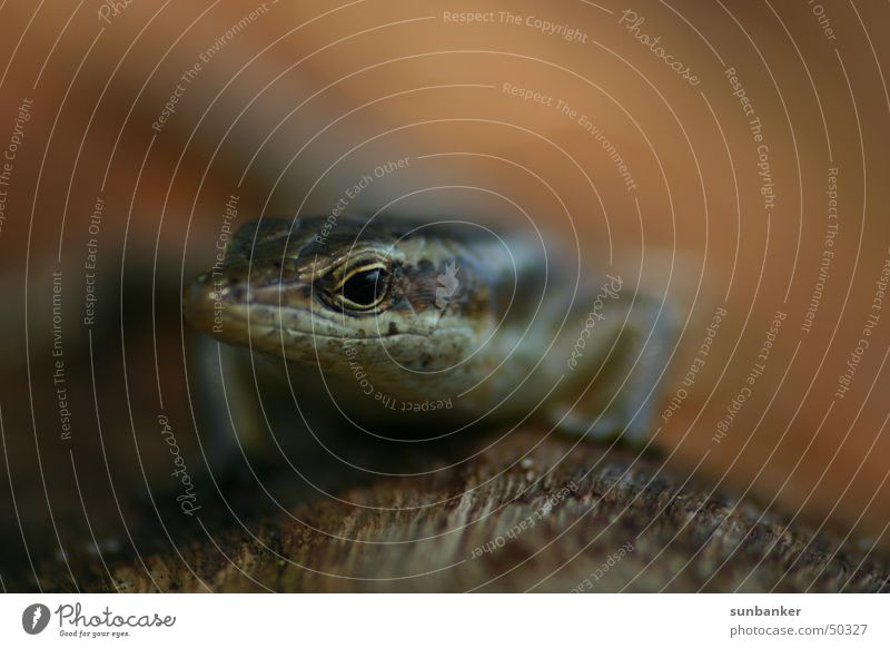 Animal Iguana Saurians Gecko