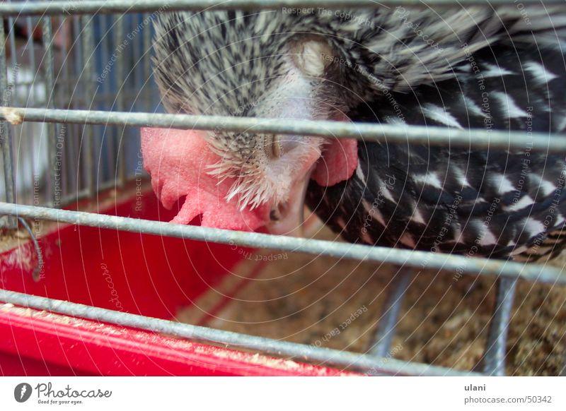 sleeping chicken Sleep Barn fowl Cage Bird Pet Captured Egg Fatigue apaitia Futile