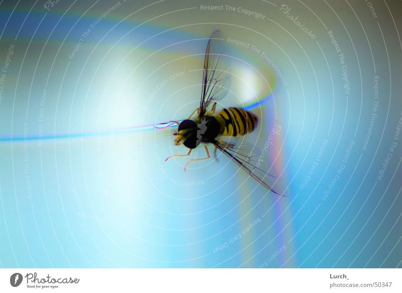Blue Glass Bee Wasps Wine glass