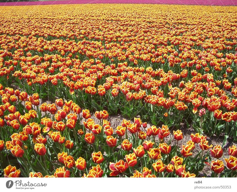 tulip rows holland 1 Netherlands Tulip Multicoloured Red Yellow Field Green Environment Maturing time Growth Flourish Pattern Colour Orange Agriculture bloom