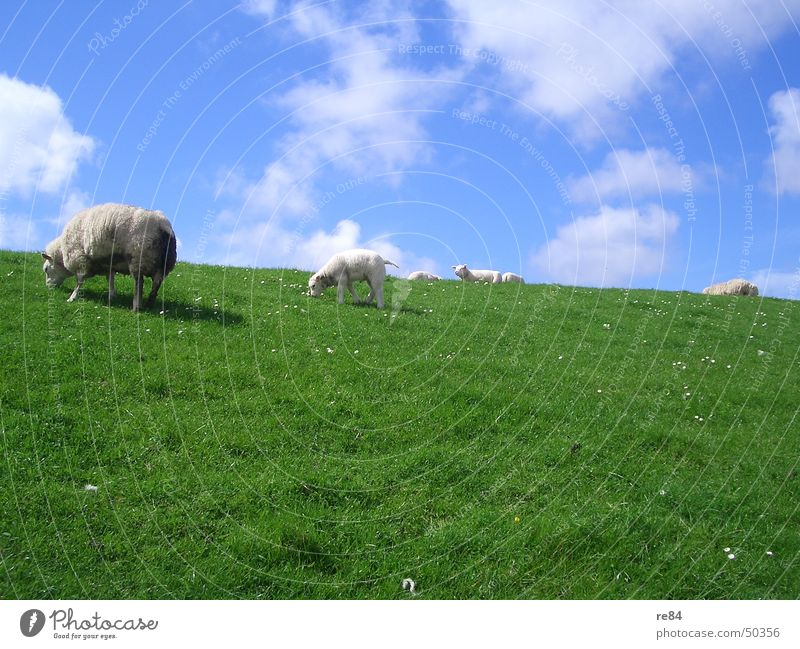Sky Nature Blue Green White Relaxation Calm Clouds Animal Meadow Grass Multiple Island Painted North Sea Sheep