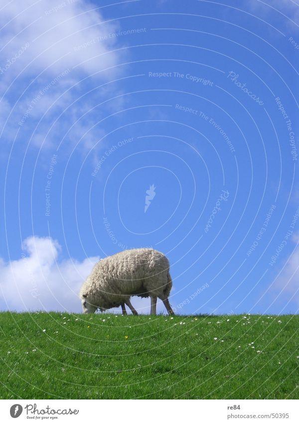 Sky Blue Green White Calm Clouds Animal Meadow Grass Island North Sea Boredom Wool Netherlands Mud flats Dike