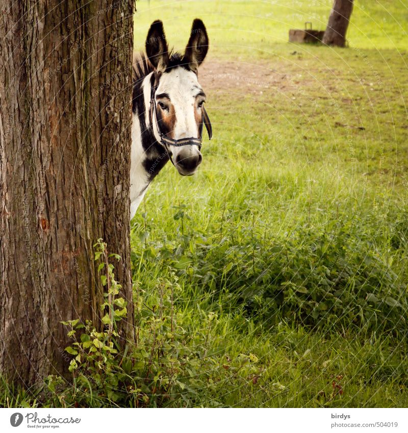You again... Summer Tree Meadow Farm animal Donkey Mule 1 Animal Observe Looking Esthetic Funny Relationship Contact Curiosity Horse Ear Dappled
