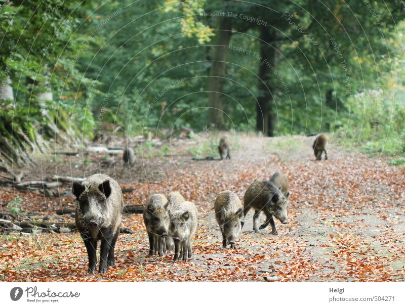 a family of wild boars walks along a forest path in autumn Environment Nature Landscape Plant Animal Autumn Tree Leaf Autumn leaves Forest Wild animal Wild boar