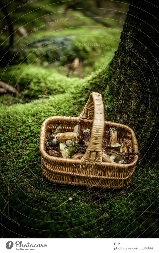 mushroom picker Nature Plant Autumn Moss Mushroom Cep Forest Fresh Brown Green Eating Nutrition Collection Basket Damp Colour photo Subdued colour Exterior shot