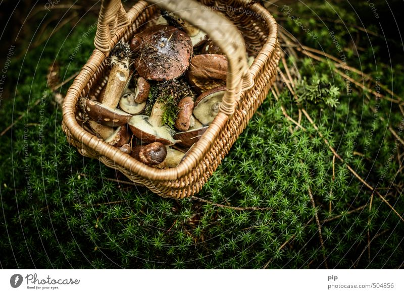 on a mushroom hunt Nature Plant Autumn Moss Carpet of moss Mushroom Mushroom picker Cep Forest Basket Fresh Brown Green Full Wild Accumulate Nutrition Edible