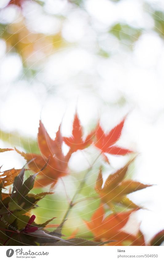 autumn whisper ll Autumn Leaf Change Nature Deserted Maple tree Maple leaf Colouring