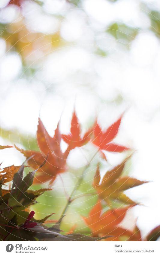 Nature Leaf Autumn Change Maple leaf Maple tree Colouring
