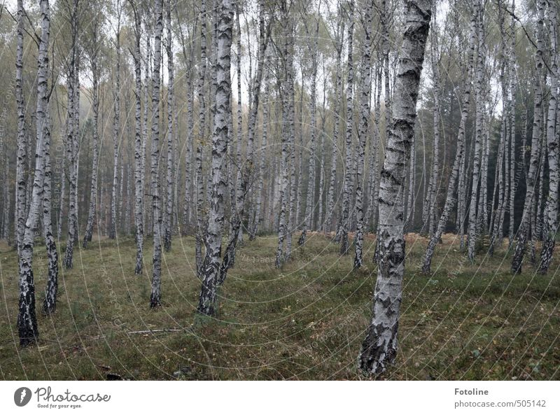 plant | mushroom forest Environment Nature Landscape Plant Autumn Tree Forest Natural Birch wood Birch tree Colour photo Subdued colour Exterior shot Deserted