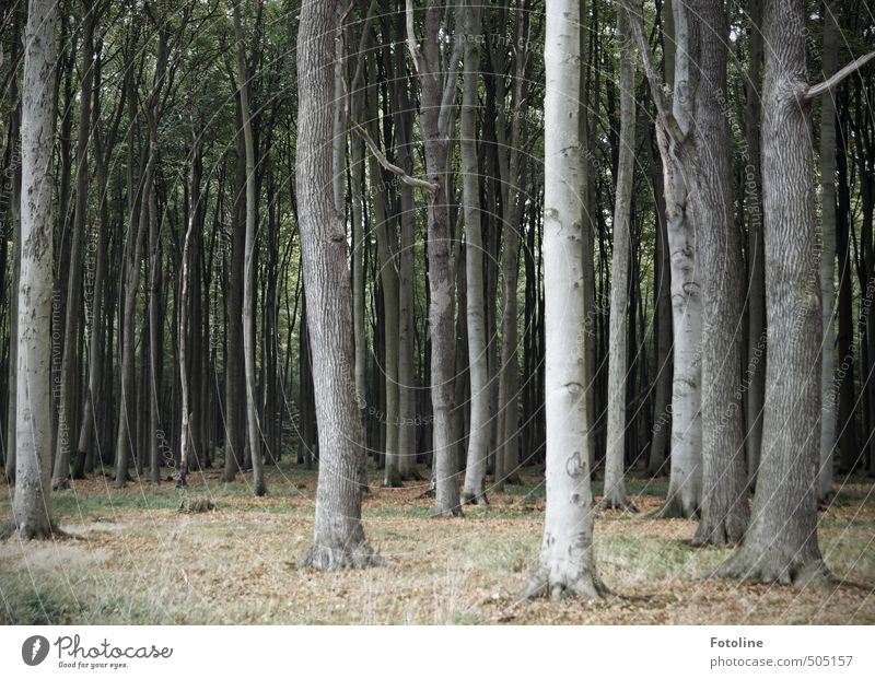 ghost forest Environment Nature Landscape Plant Autumn Tree Wild plant Forest Cold Natural Ghost forest Spooky Beech wood Beech tree Colour photo Subdued colour