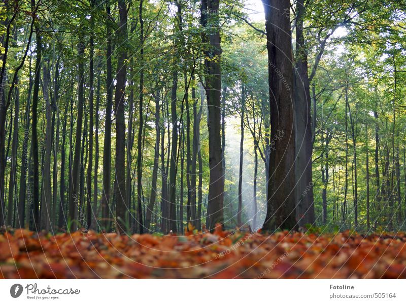 Book you shall search! Environment Nature Landscape Plant Autumn Tree Leaf Forest Bright Tall Natural Beech wood Beech leaf Beech tree Colour photo