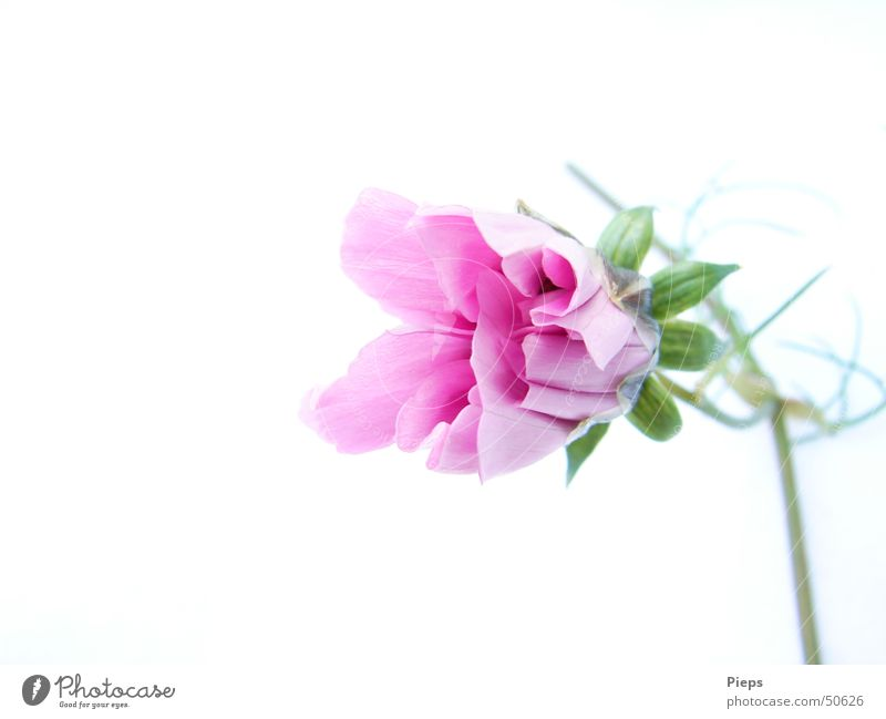 Pink unfolding (2) Summer Nature Plant Flower Blossom Blossoming Fresh White Transience Graceful Development Bud Growth Colour photo Interior shot