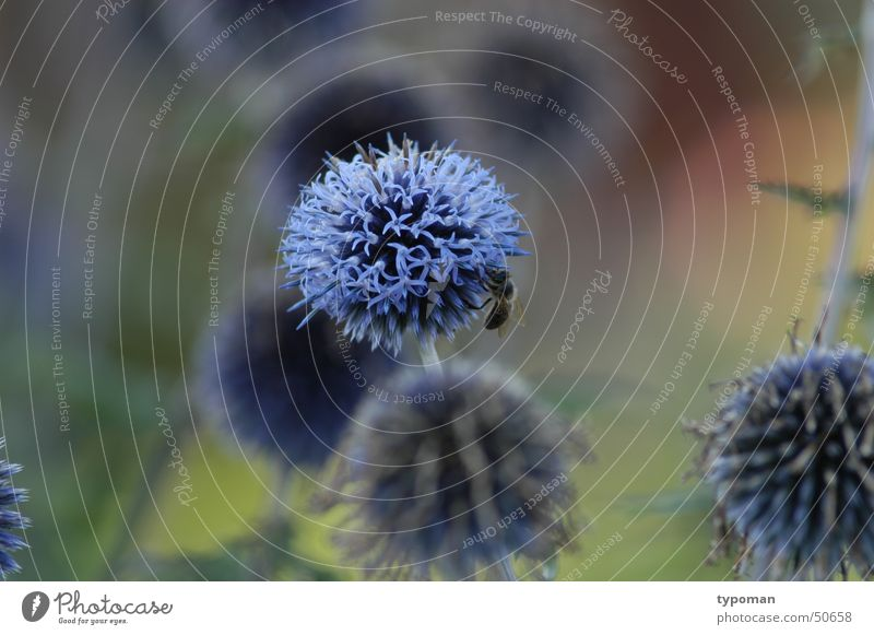 Nature Flower Blue Insect Bee Botany Science & Research Honey Stamen Nectar