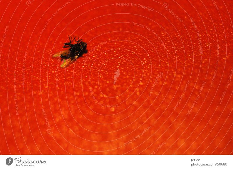 i´m fearful of FLYing Red Black At the back Insect Fly Death
