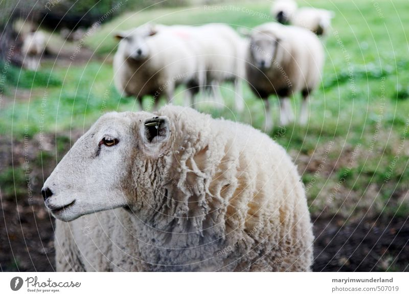 Nature Landscape Animal Environment Mountain Meadow Field Hiking Observe Group of animals Pelt Farm Animal face Direction Sheep Farmer
