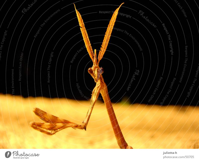 Distracted from praying Praying mantis Mantids Insect Prayer Provence Feeler