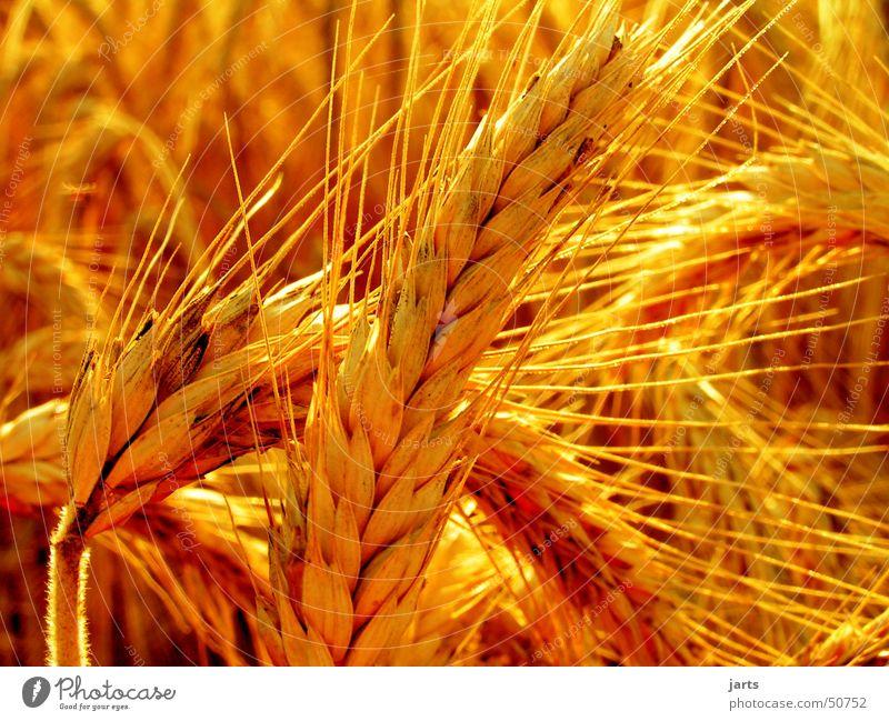 cornfield Cornfield Summer Field Agriculture Vegetarian diet eras Grain Sun jarts