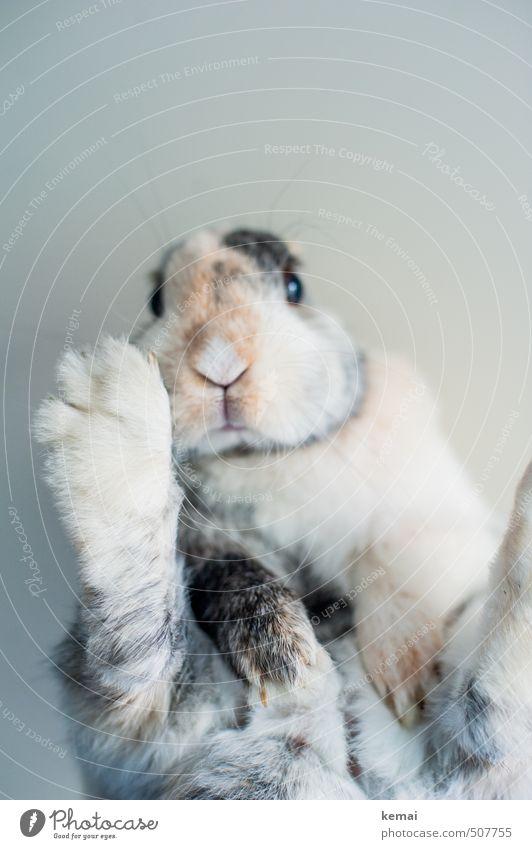 hang out Animal Pet Animal face Pelt Claw Paw Hare & Rabbit & Bunny Pygmy rabbit Snout 1 Lie Sit Cool (slang) Cute Serene Colour photo Subdued colour