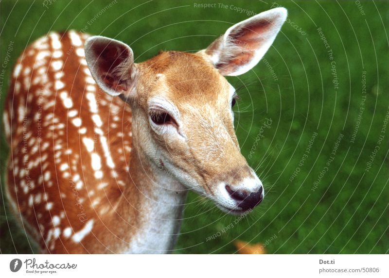 Nature Animal Brown Near Animal face Trust Pelt Zoo Curiosity Wild animal Cute Watchfulness Smooth Mammal Interest Roe deer