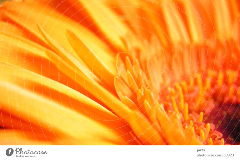 Nature Flower Blossom Spring Orange Gerbera
