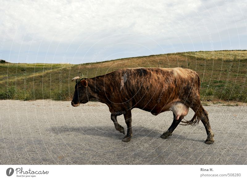 TigerCow Nature Landscape Sky Horizon Meadow Hill Street Animal Farm animal 1 Going Brown Serene Colour photo Exterior shot Deserted Copy Space top