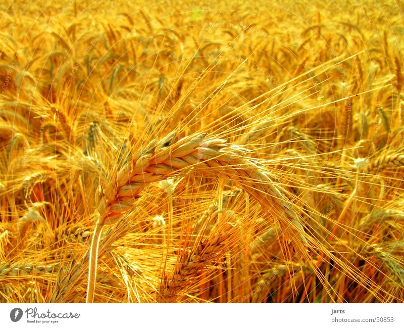 cornfield Cornfield Field Wheat Summer Sun Yellow Vegetarian diet Gold jarts