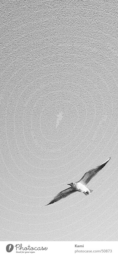 Sky White Black Movement Gray Bird Flying Seagull Hissing Gull birds